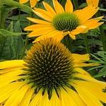 Cone Flower 'Echinacea Kismet Yellow' - 1 gal