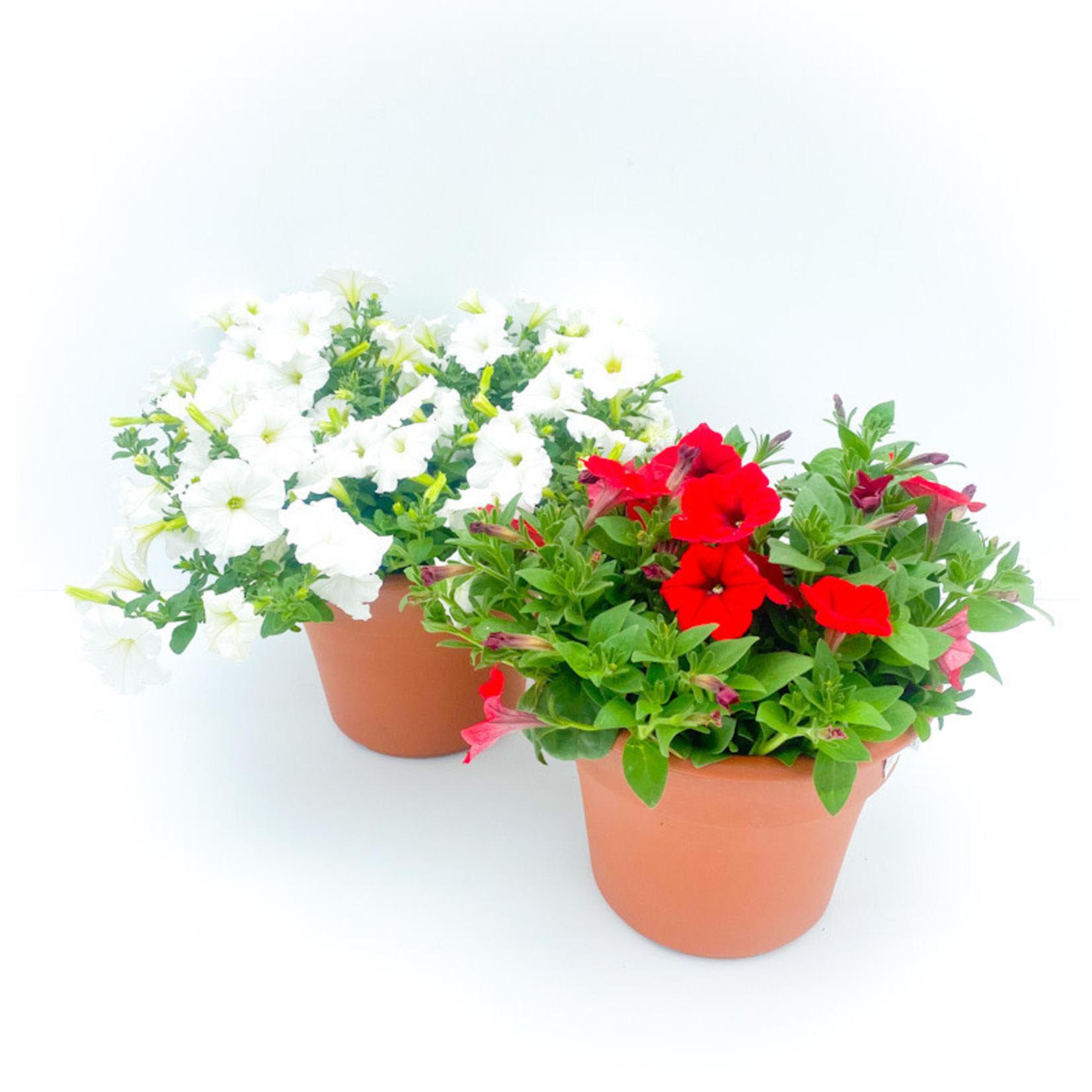 "Terra Cotta 10"" pot Assorted Petunia"