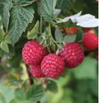 Raspberry 'Rubus Nova' - 2 gal