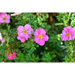 Potentilla 'Pink Beauty' - 2 gal