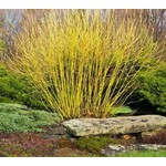 Dogwood 'Yellow Twig' - 2 gal