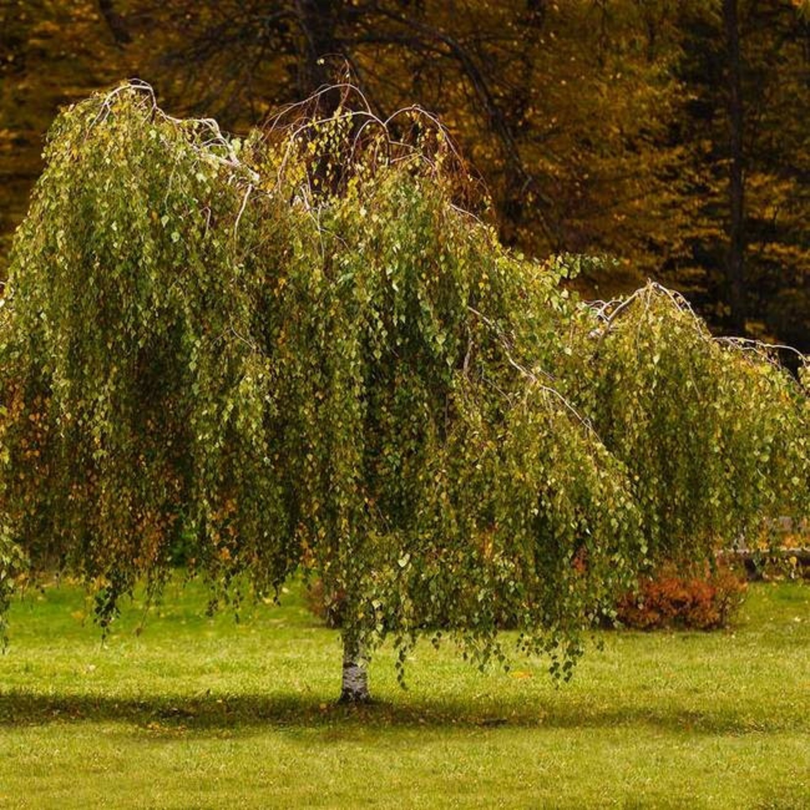 Young's Weeping Birch - 6.5' Potted