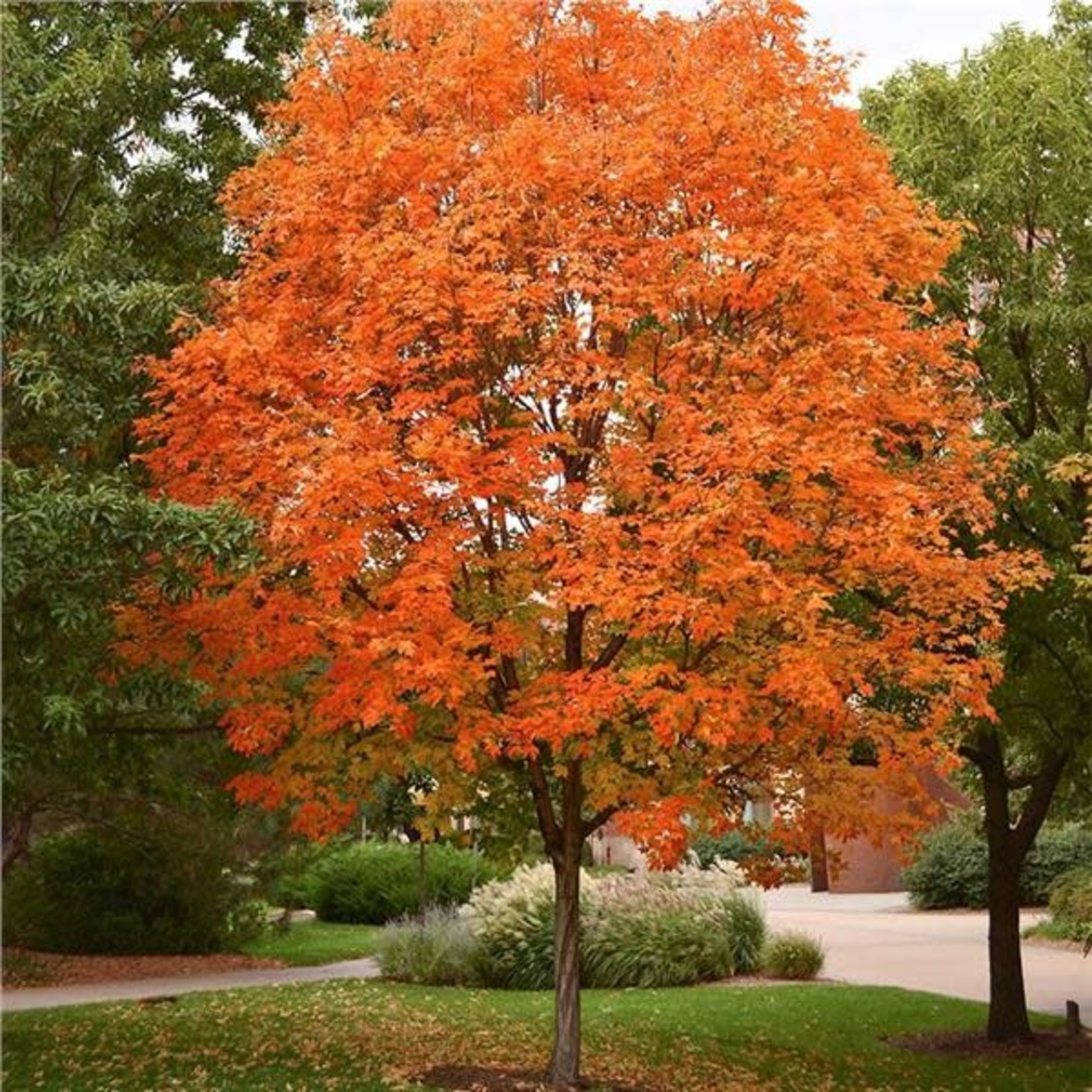 Sugar Maple 'Legacy' - 6.5' Potted