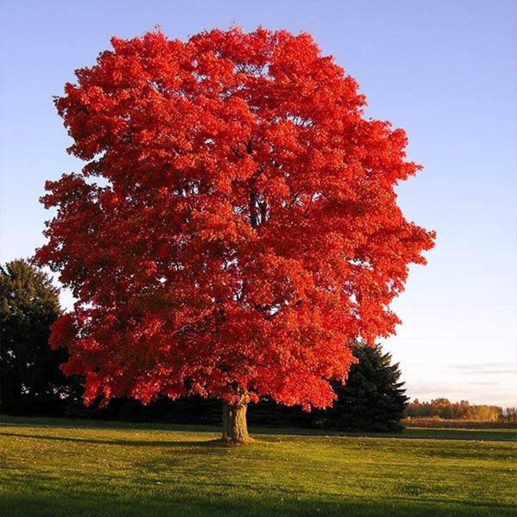 Red Maple 'Red Sunset' - 7' Potted