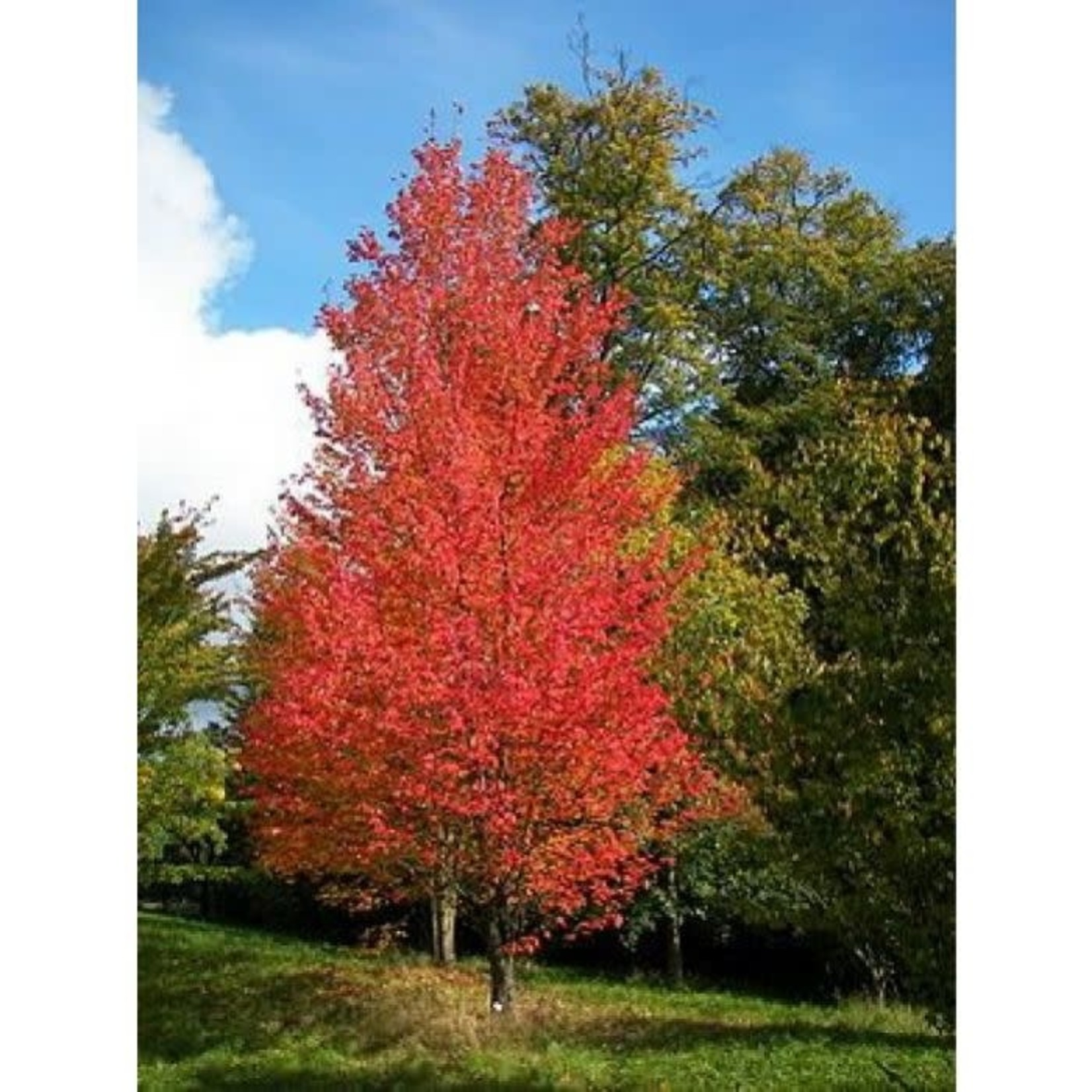 Red Maple 'Armstrong' - 7' Potted