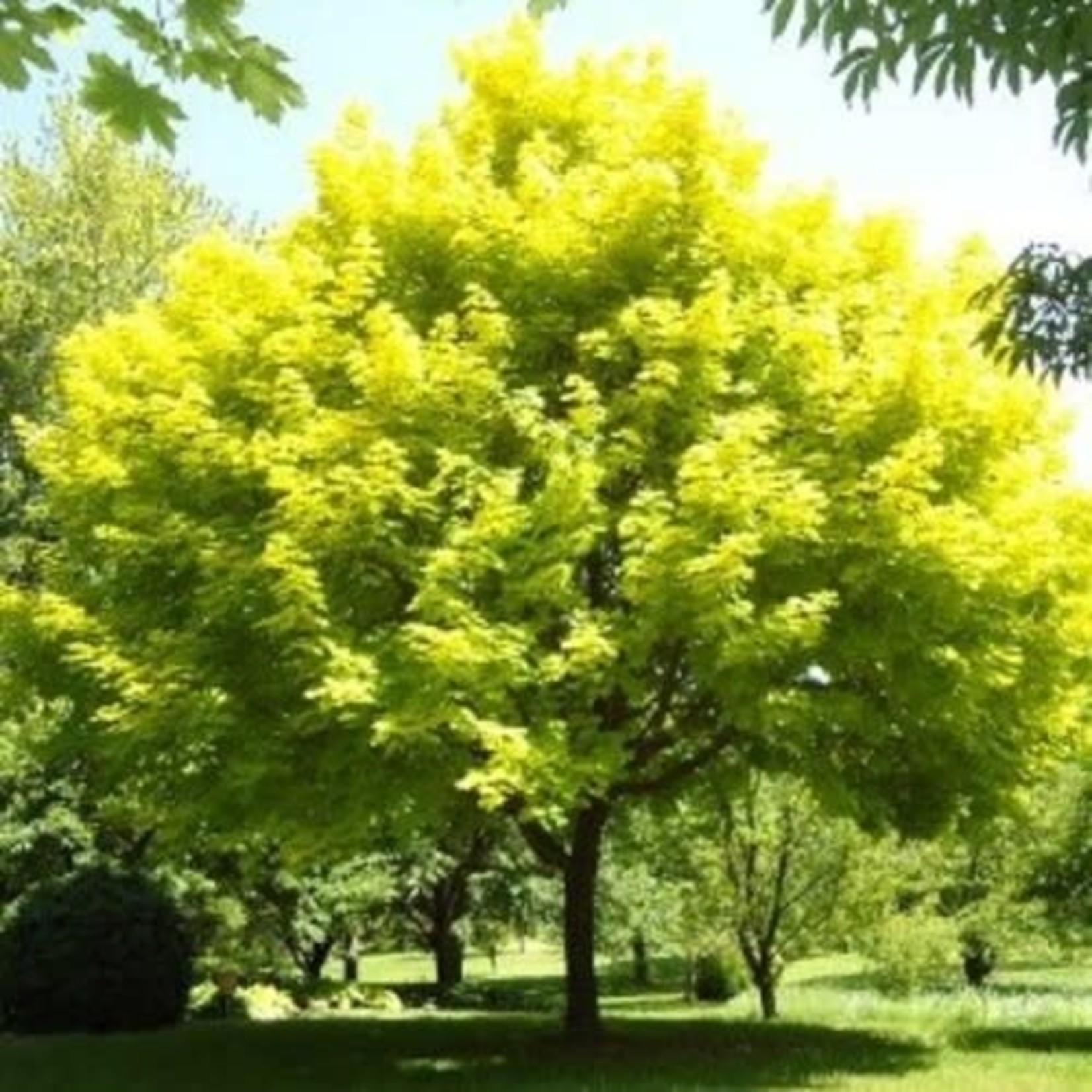 Norway Maple 'Princeton Gold' - 8' Potted