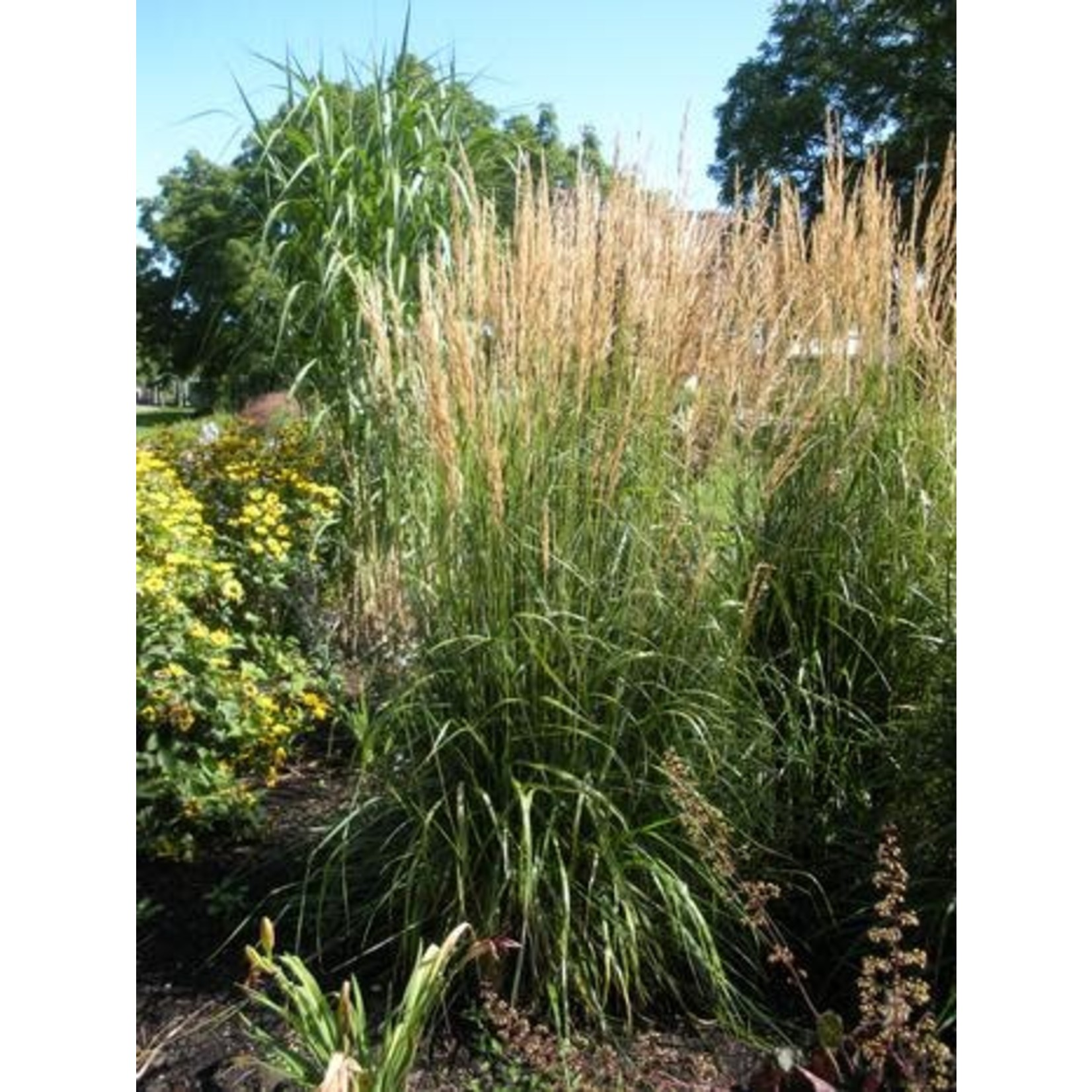 Feather Reed Grass - calamagrostis 'Karl Foerster' 1 gal