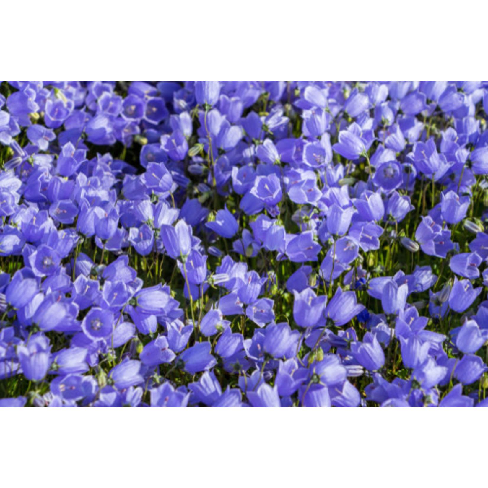 Bell Flower 'Rapido Blue' 1 GAL