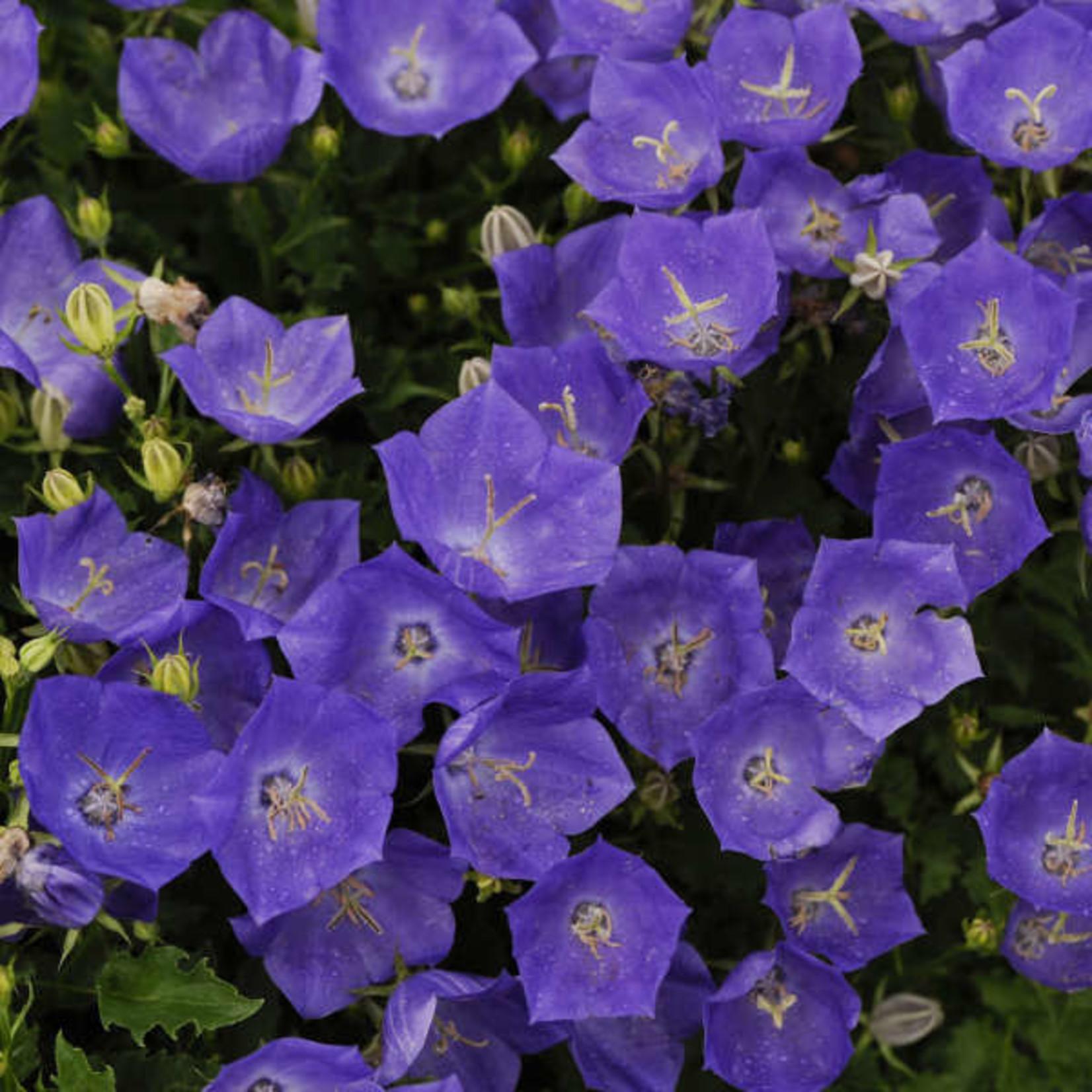 Bell Flower - Carpatica - Pearl Deep Blue  1GAL