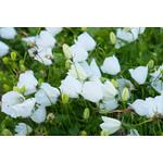 Bell Flower Carpatica Pearl White  1 GAL