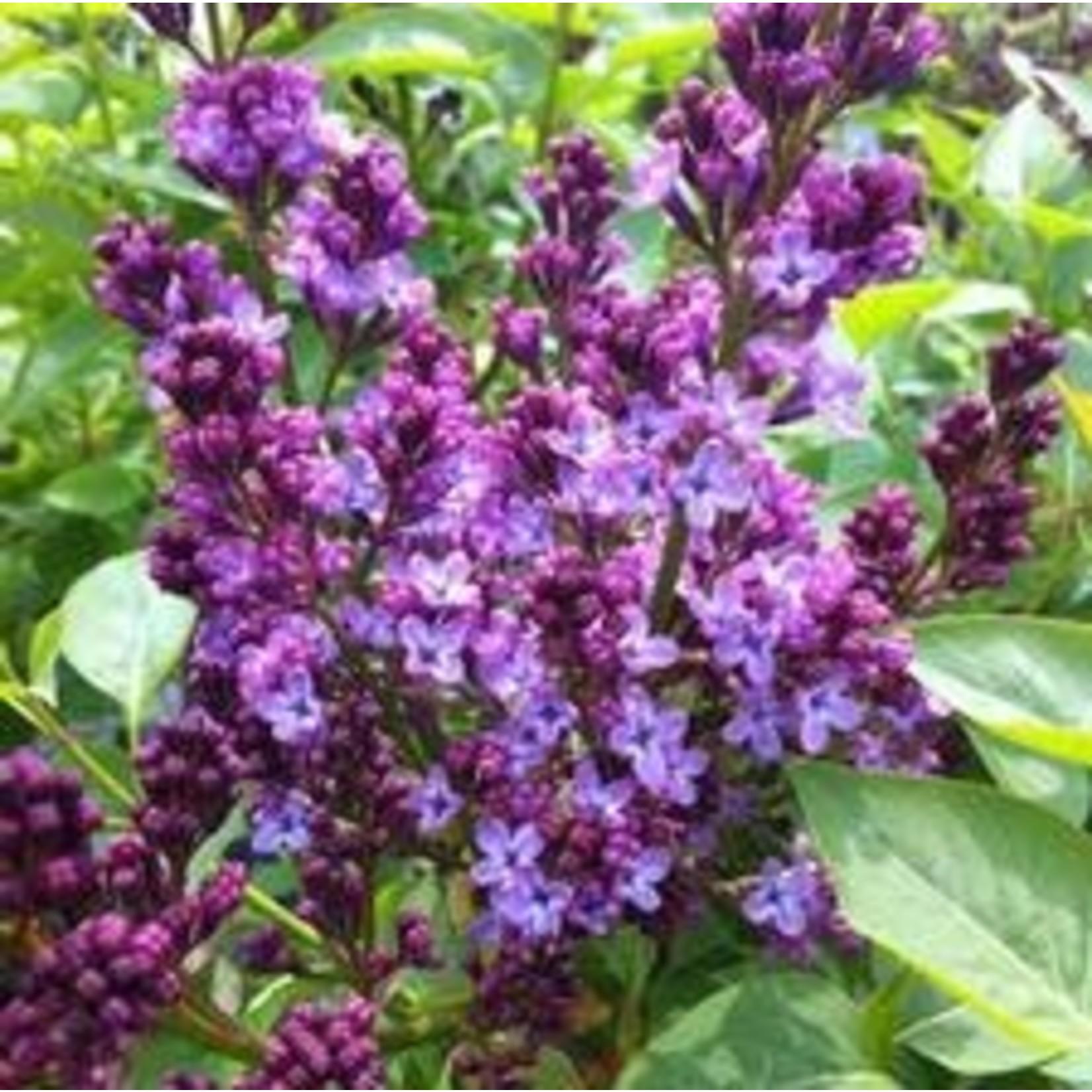 Lilac 'charles joly'