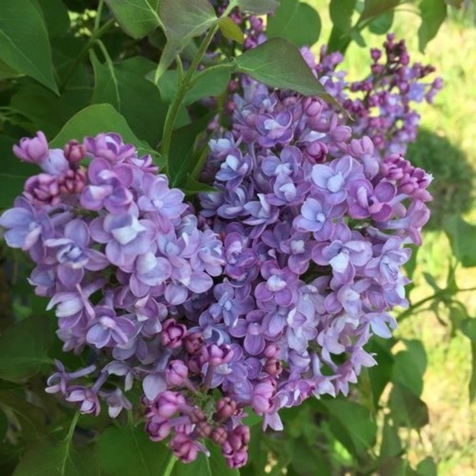 Lilac 'Scentara Double Blue' - 2 gal