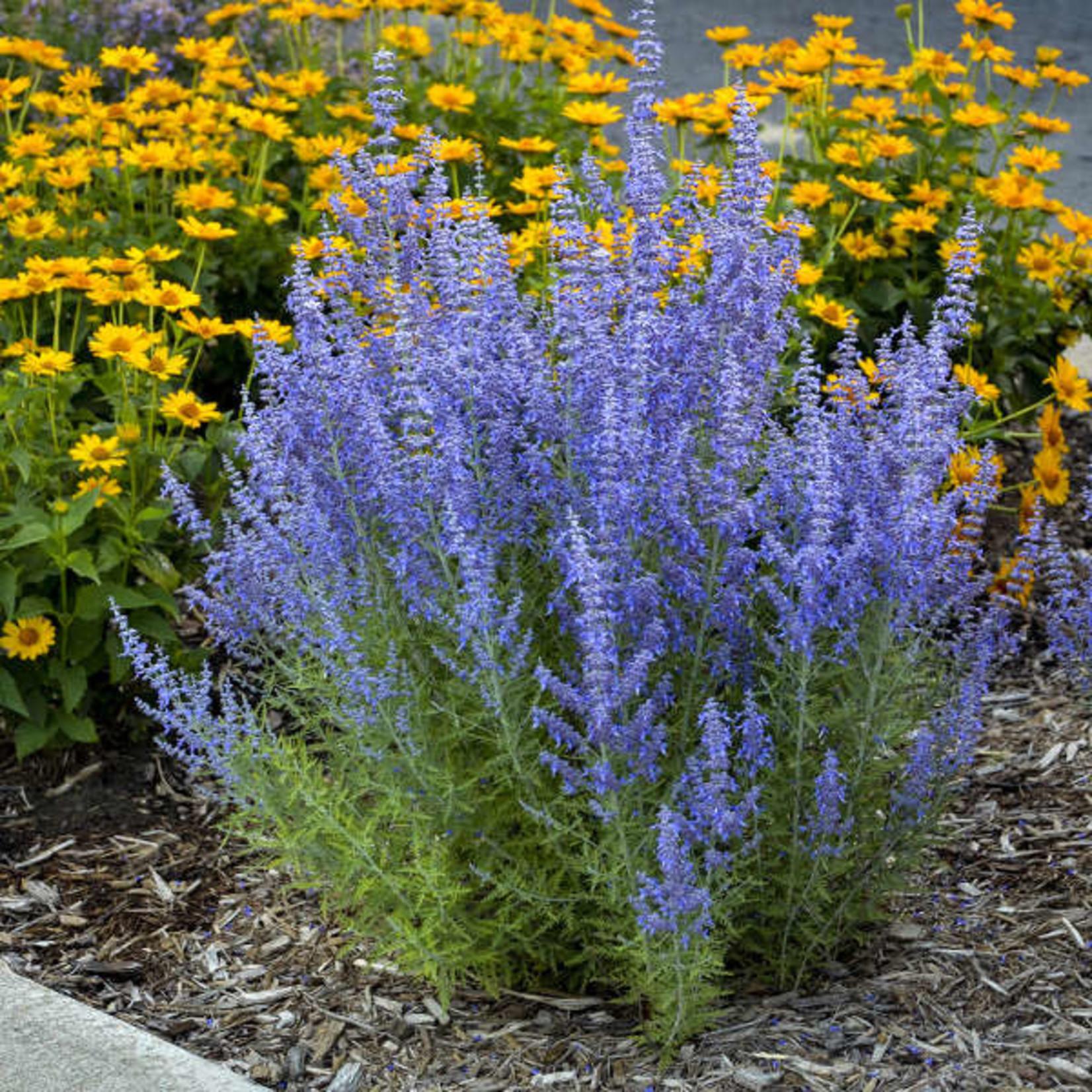 Perennial Sage:  Denim 'n Lace 1 GAL PW