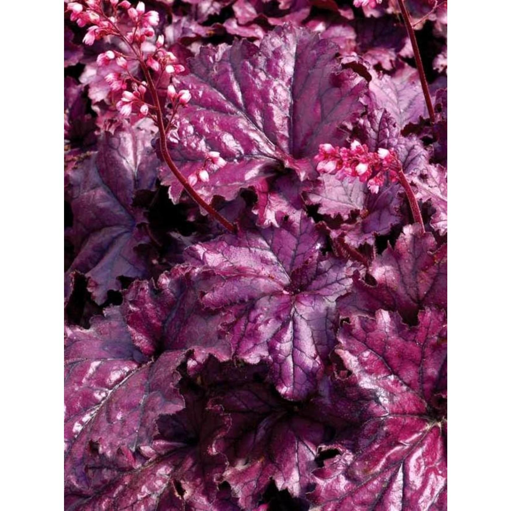 Coral Bells 'Heuchera Hybrid Forever Purple' - 1 gal