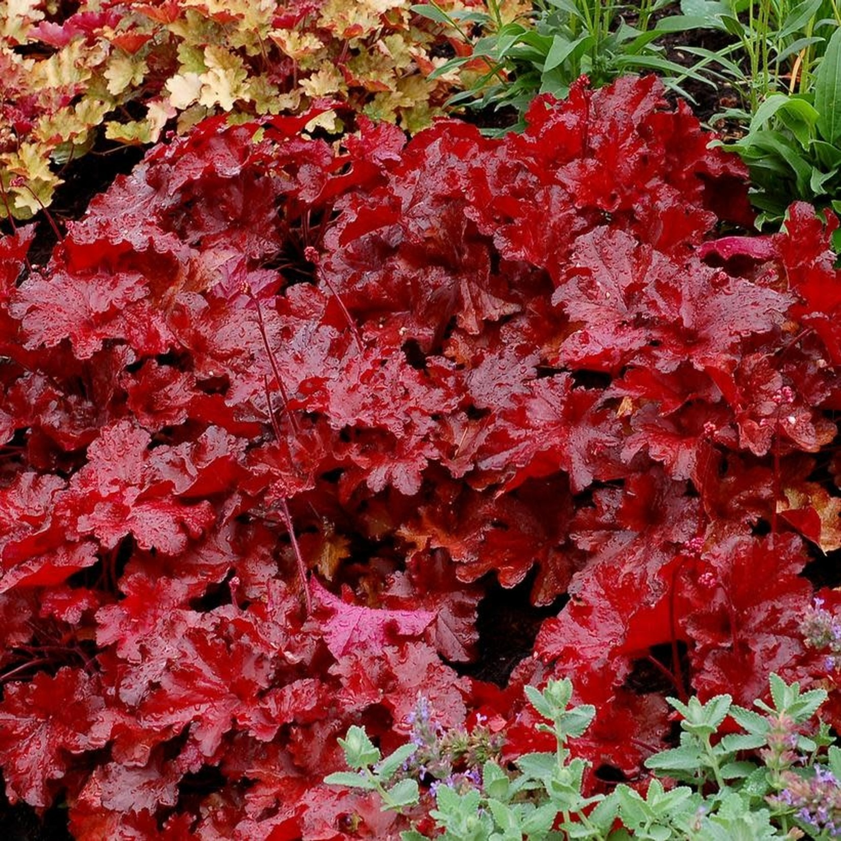 Coral Bells 'Heuchera Hybrid Forever Red' - 1 gal