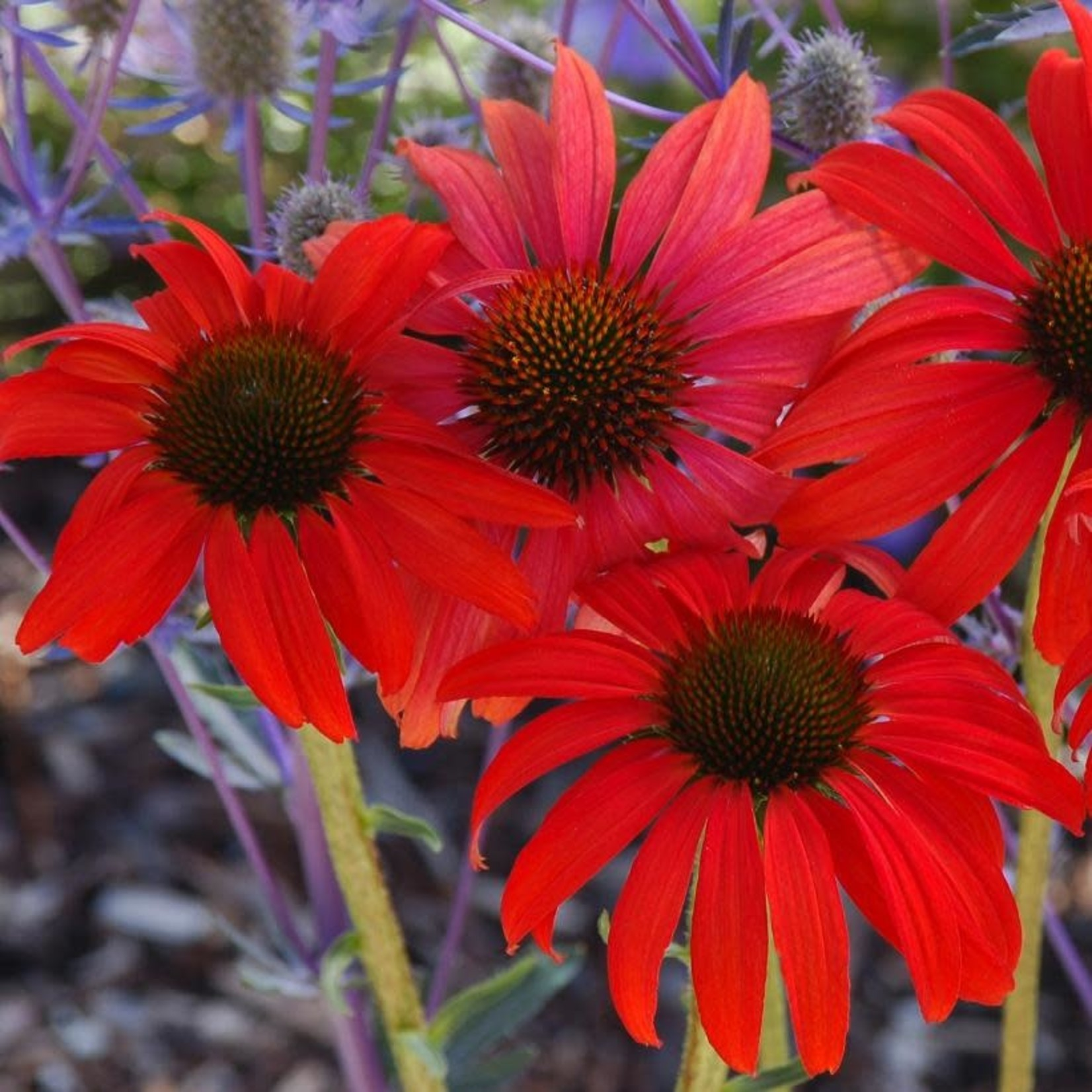 Cone Flower 'Echinacea Tomato Soup' - 1 gal