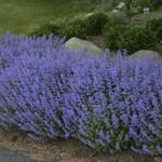 Catmint 'Nepeta Purrsian Blue'