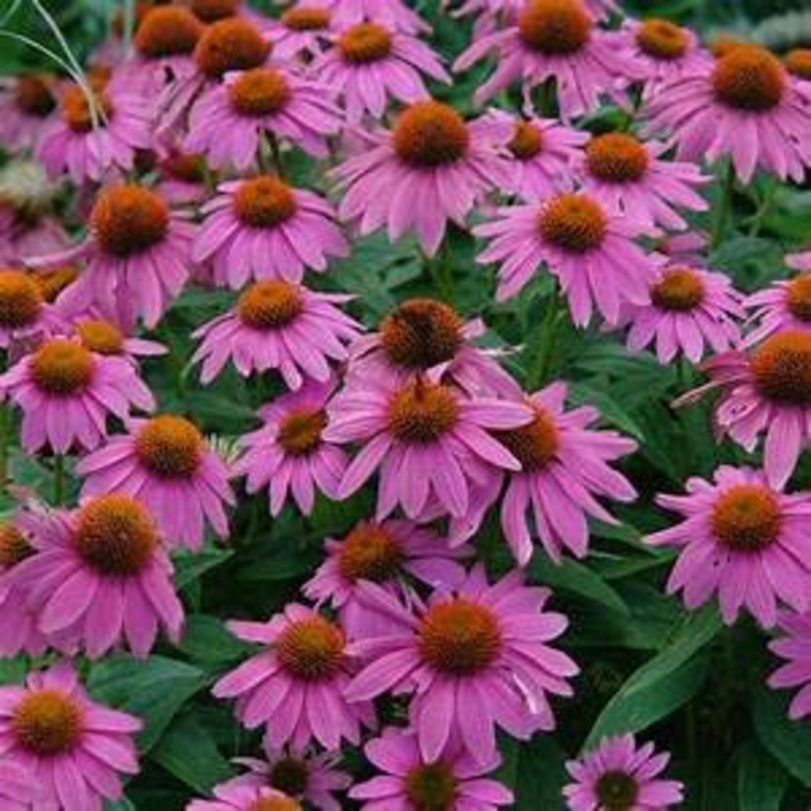 "4"" Perennial\ Cone Flower 'Echinacea PowWow Wildberry'"