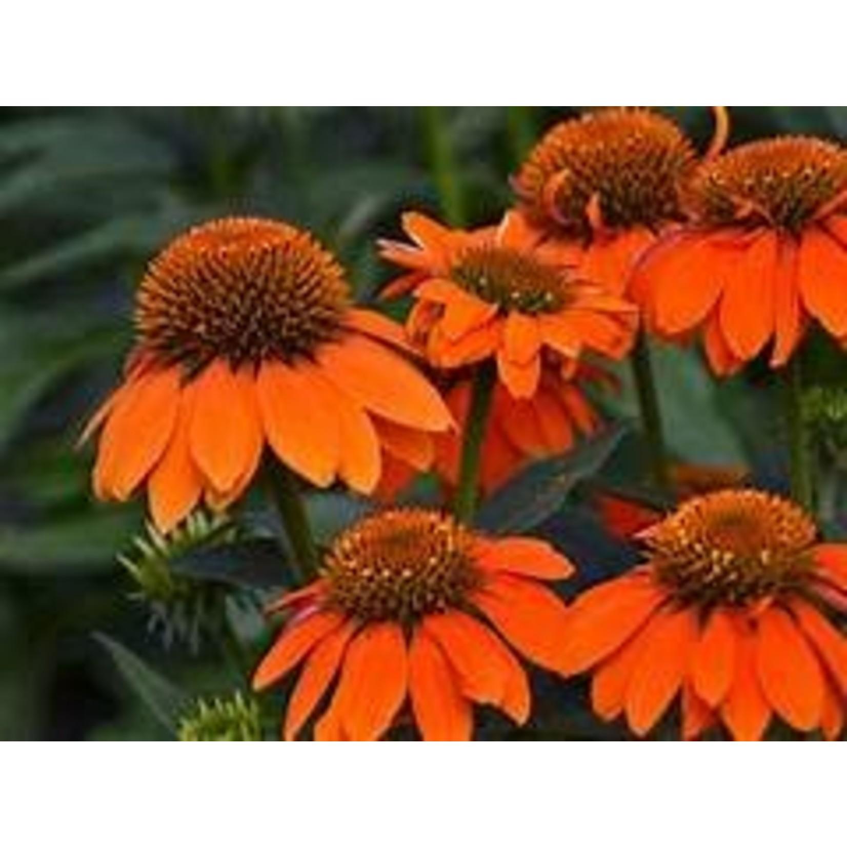 Cone Flower 'Echinacea Sombrero Adobe Orange' - 2 gal