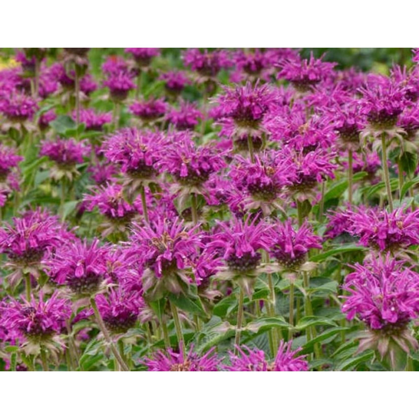 Beebalm 'Monarda Purple Rooster' - 1 gal