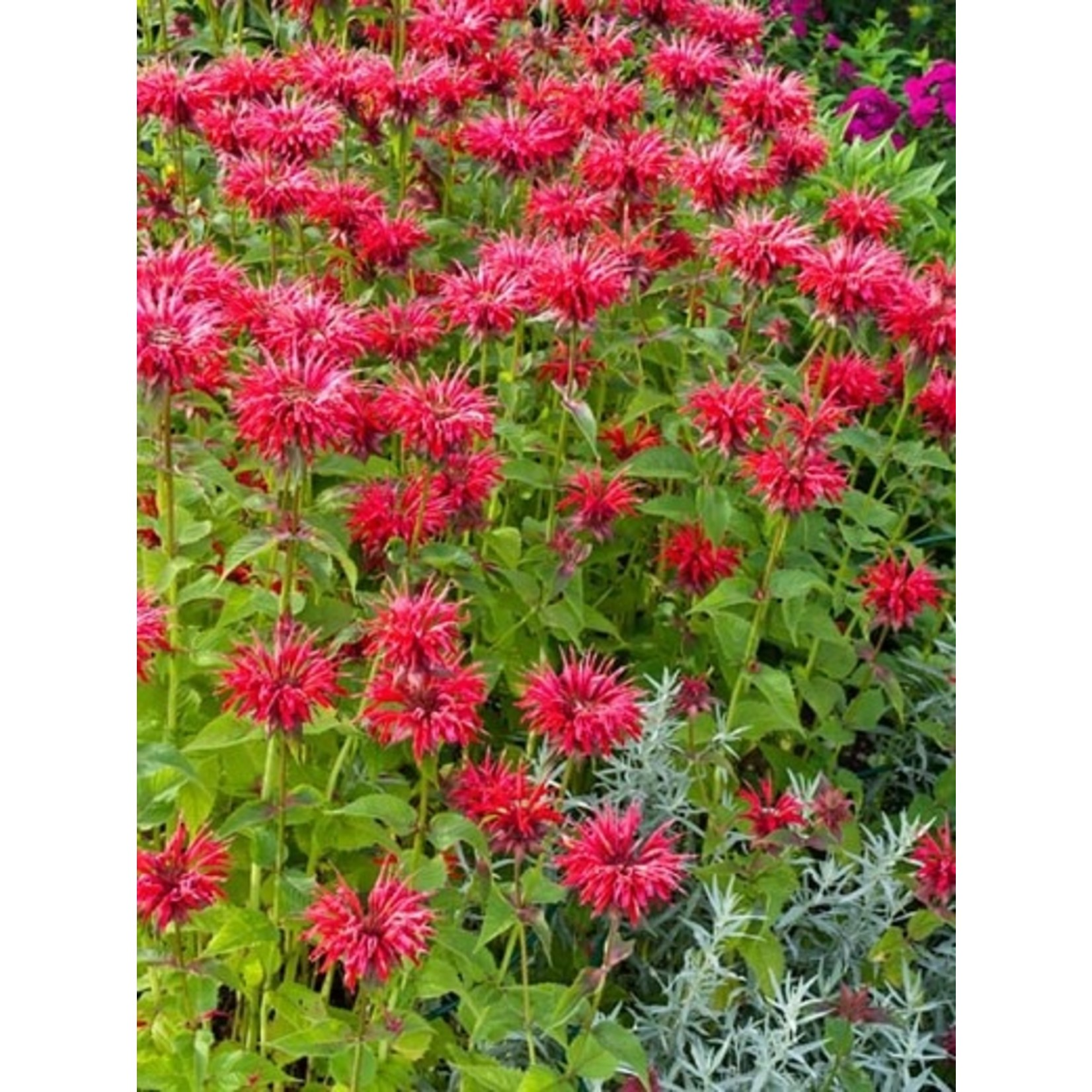 Beebalm 'Monarda Gardenview Scarlet' - 1 gal