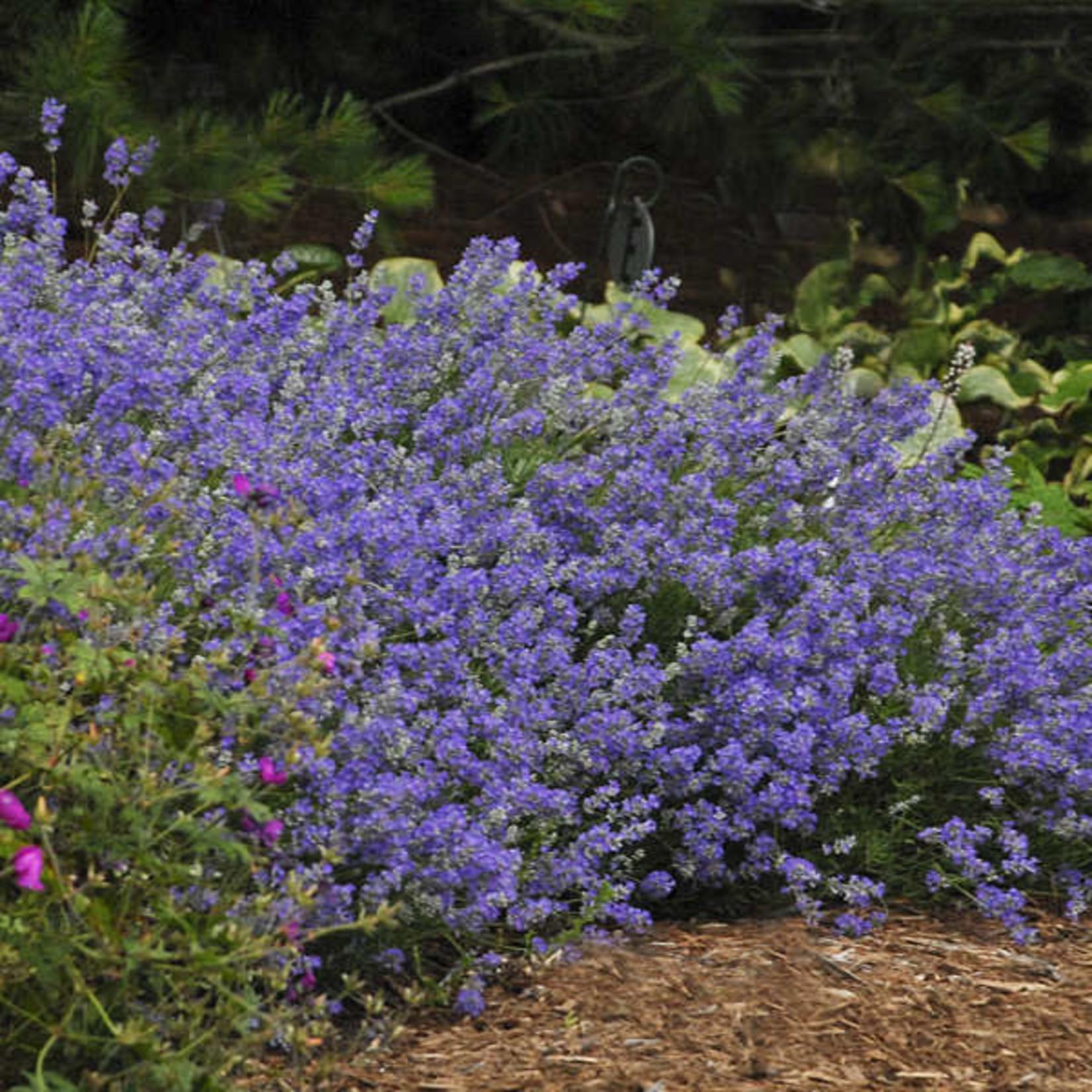 Lavender 'Angustifolia Blue Cushion' - 2 gal