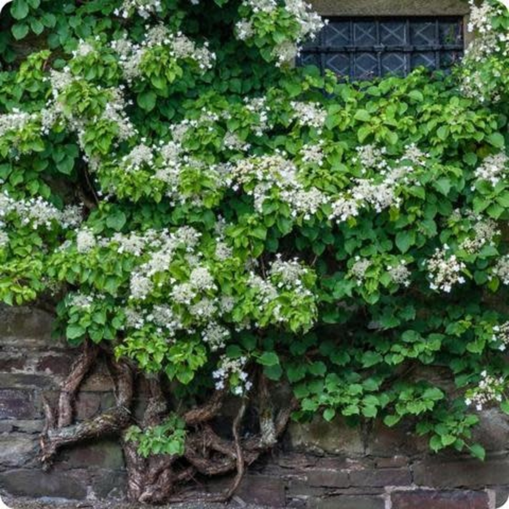 Hydrangea 'Climbing' - 2 gal staked