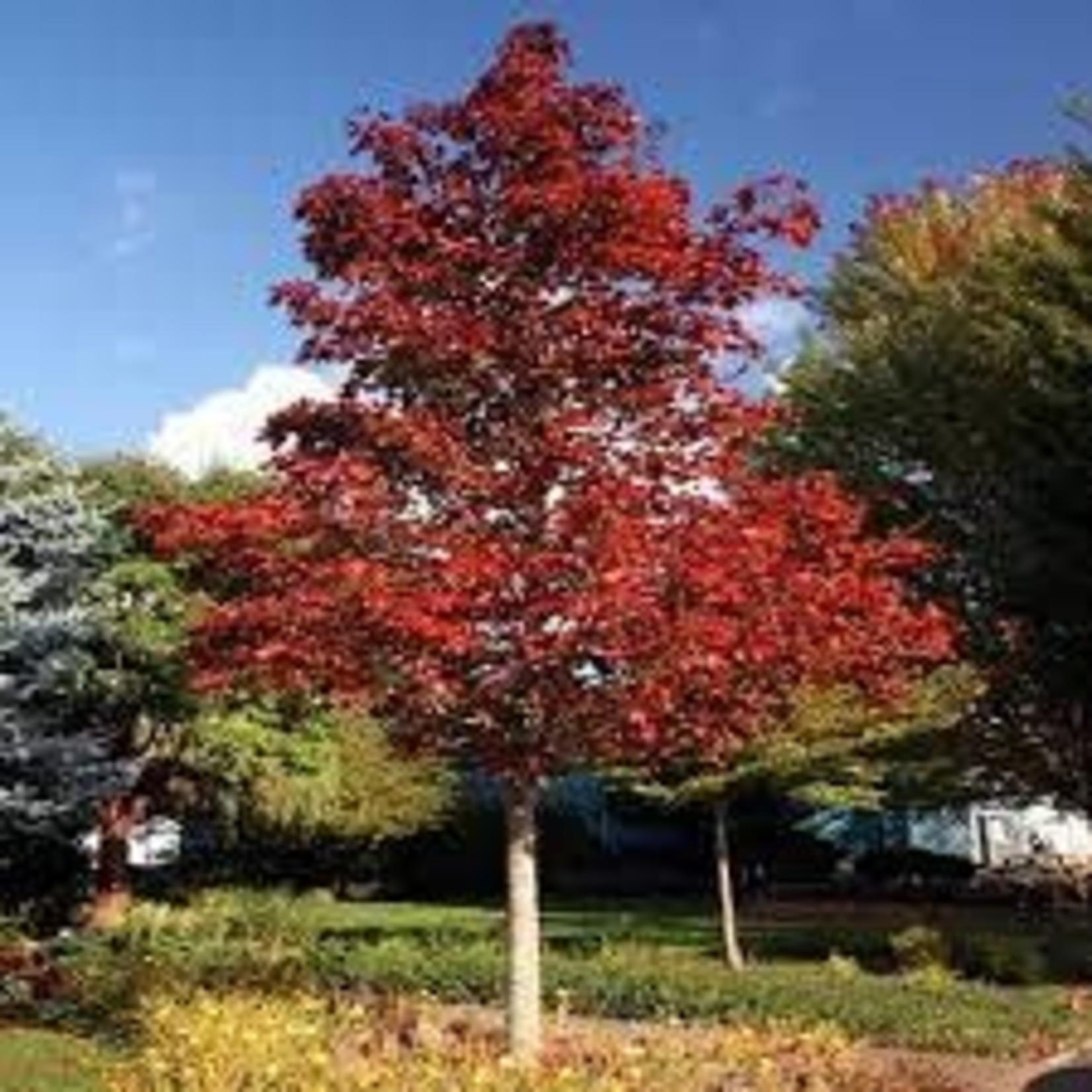 Maple 'Crimson King'