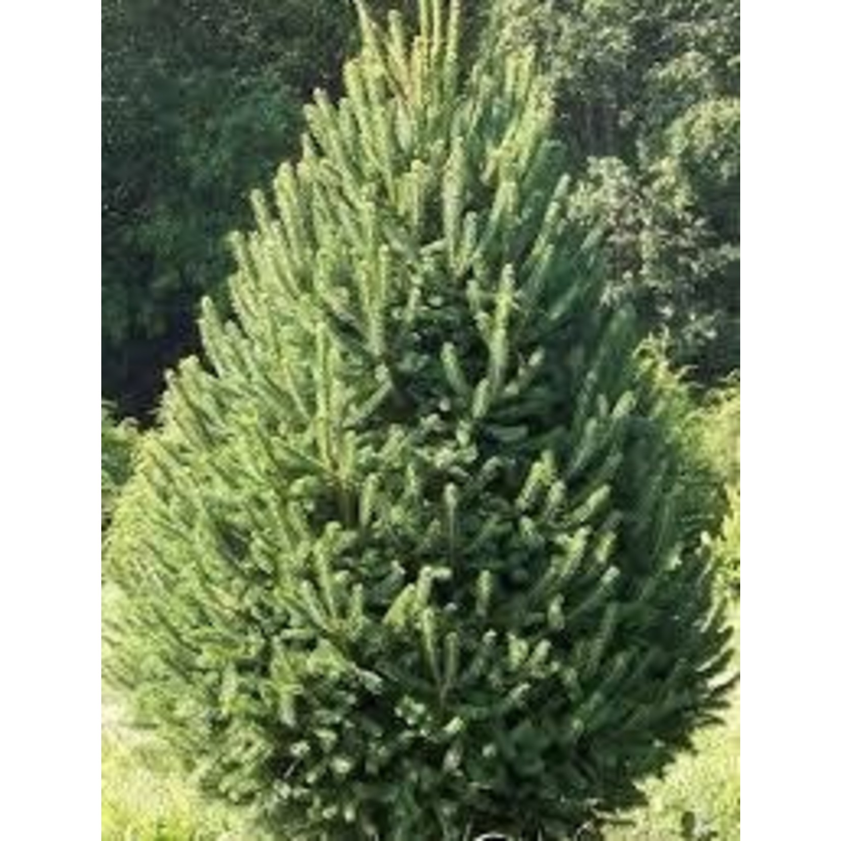 White Spruce 'North Pole' - 3-4' potted