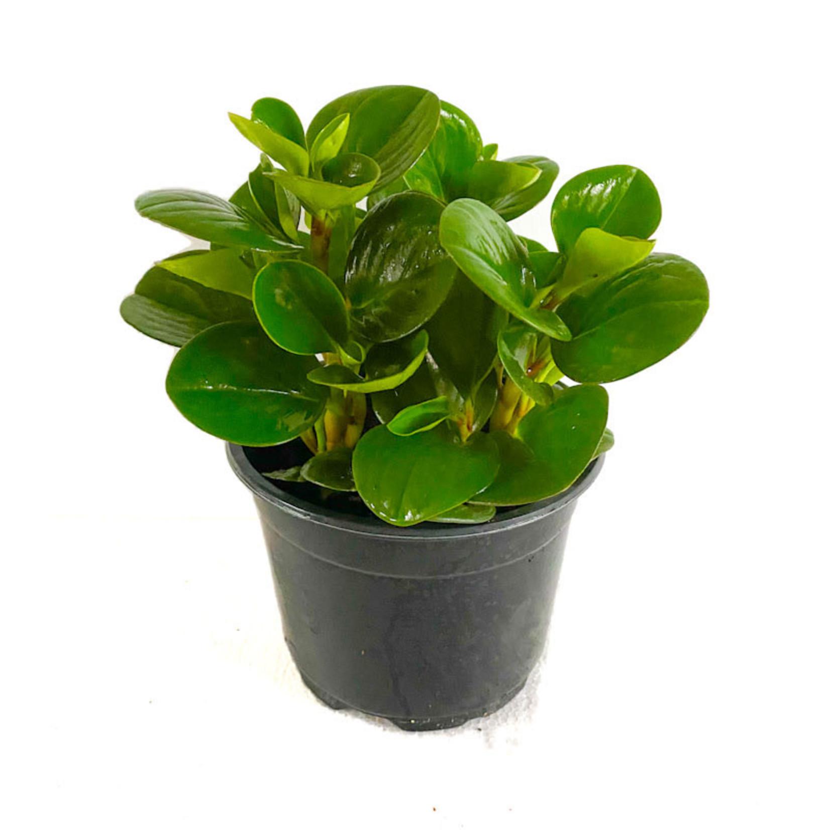 "6"" House Plants"