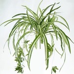"Spider Plant HB - 7"""
