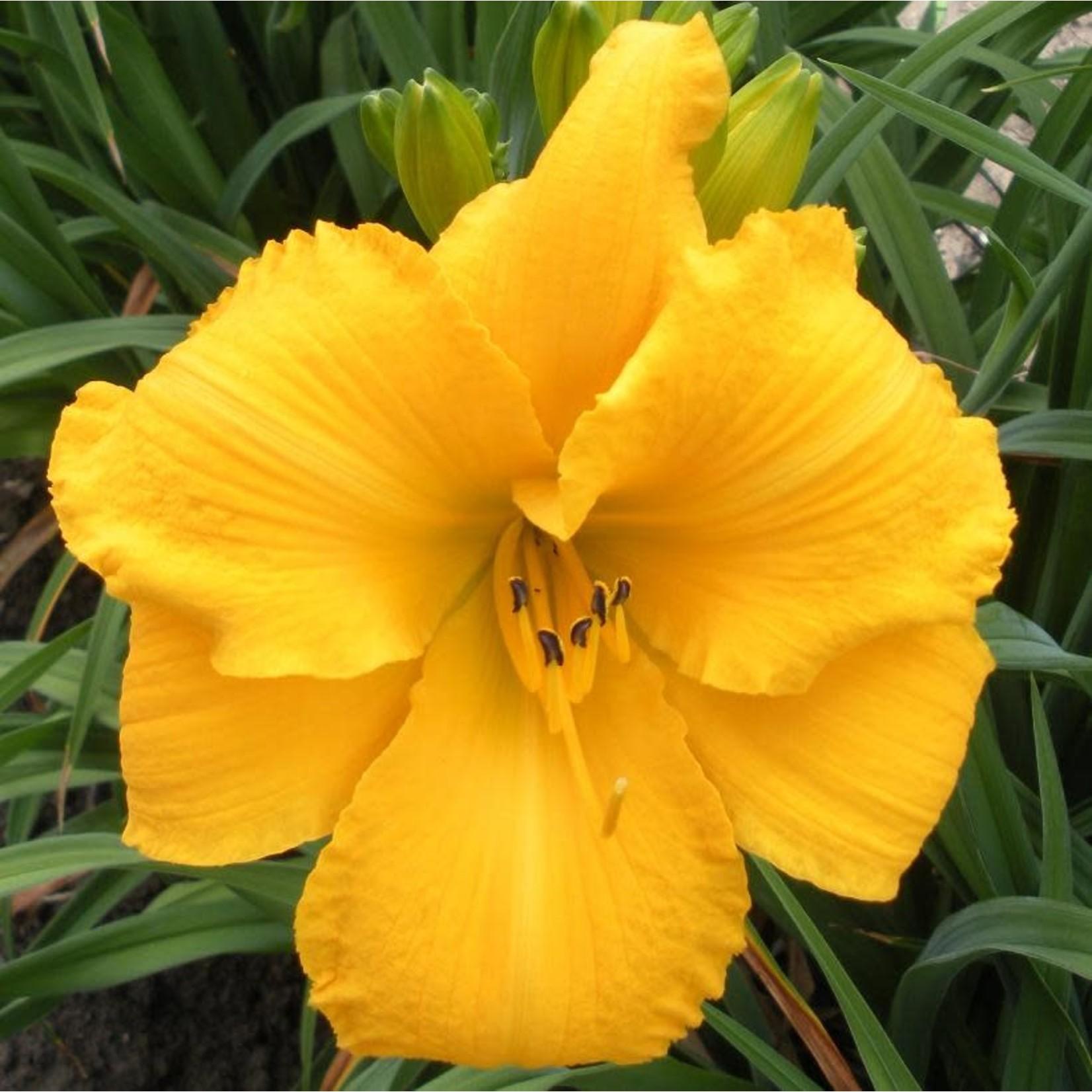 Daylily - Hemerocallis 'Mary's Gold' - 1 gal