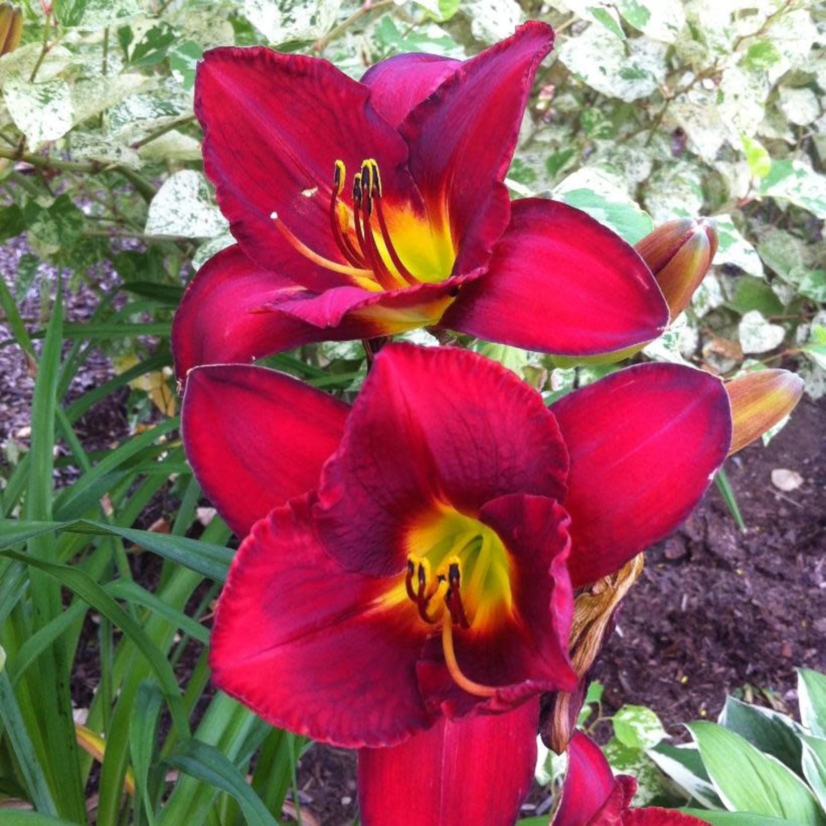 Daylily - Hemerocallis 'James Marsh' - 1 gal