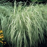 Variegated Japanese Silver Grass  'Miscanthus Sinensis'