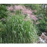 Giant Maiden Grass 'Silver Grass' - Miscanthus Giganteus