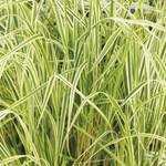 Ornamental Grasses - SALE