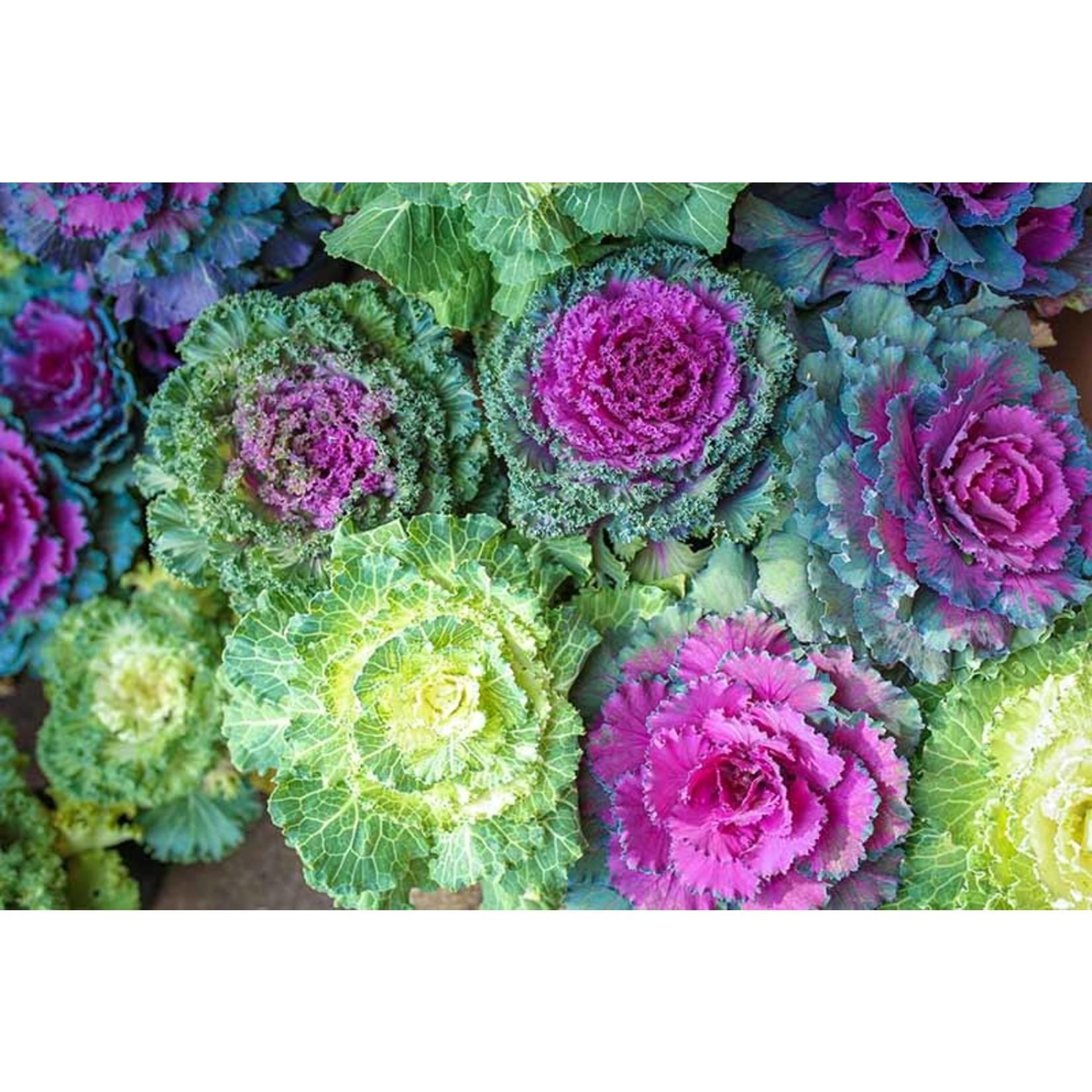 """Flowering Kale  & Cabbage- 4.5"""""""