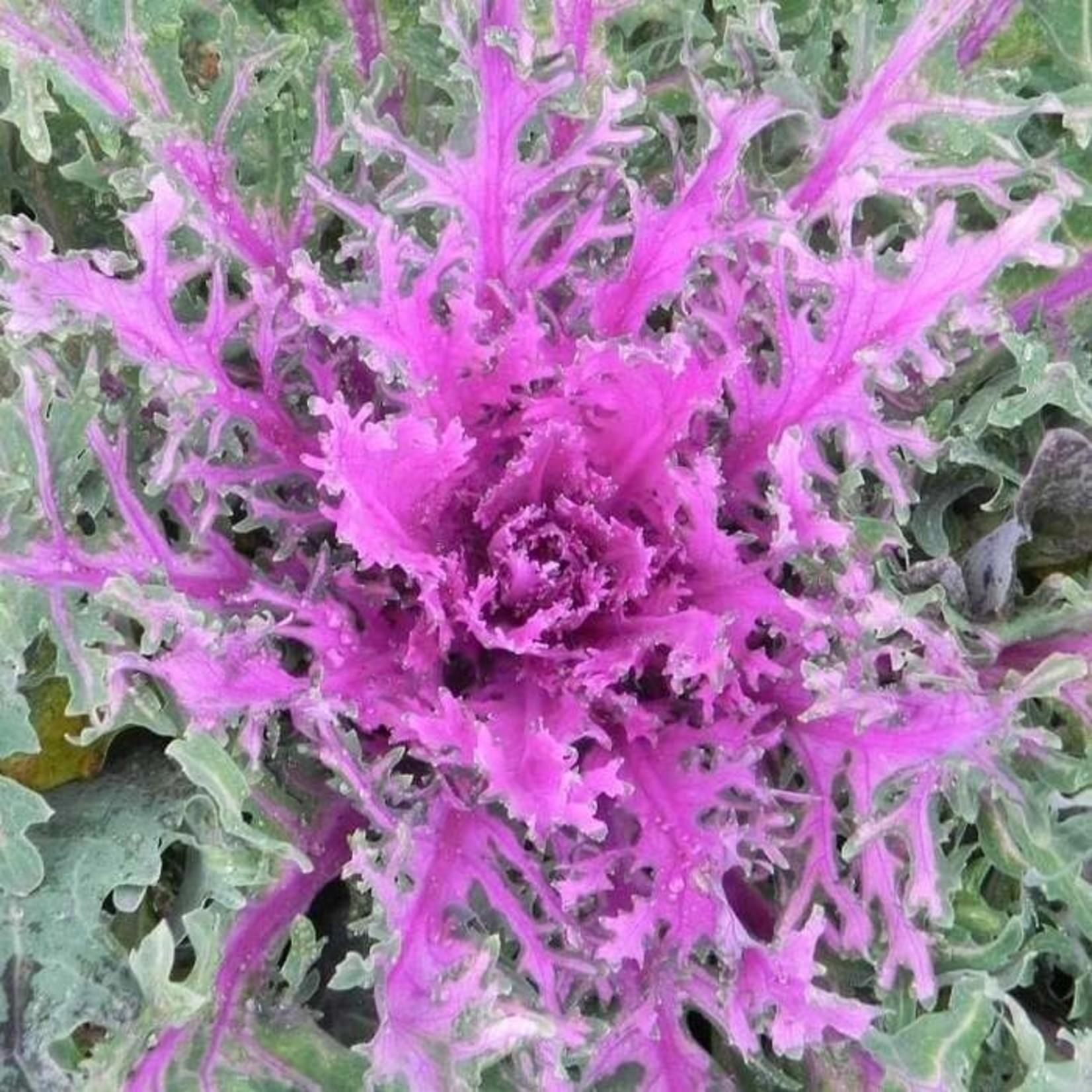 """Flowering Kale 10"""""""