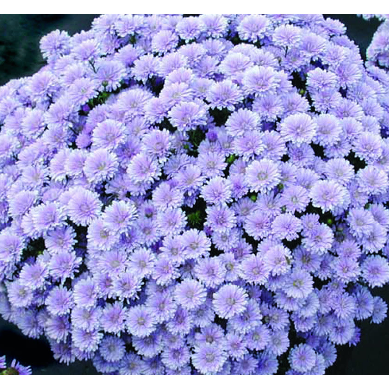 """Aster - 10"""""""