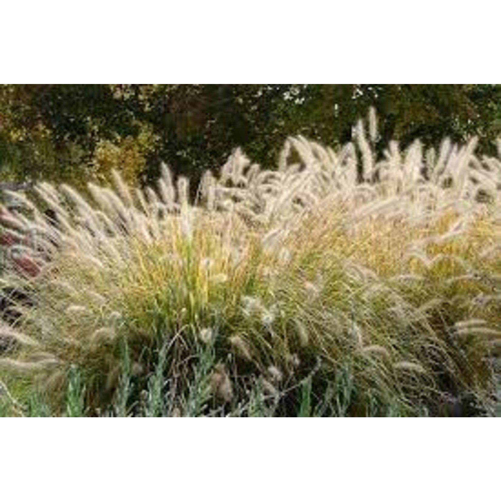 Fountain Grass 'Water to Wine'