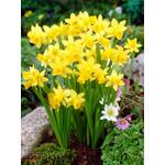 Narcissus Bulbs: Tete a Tete