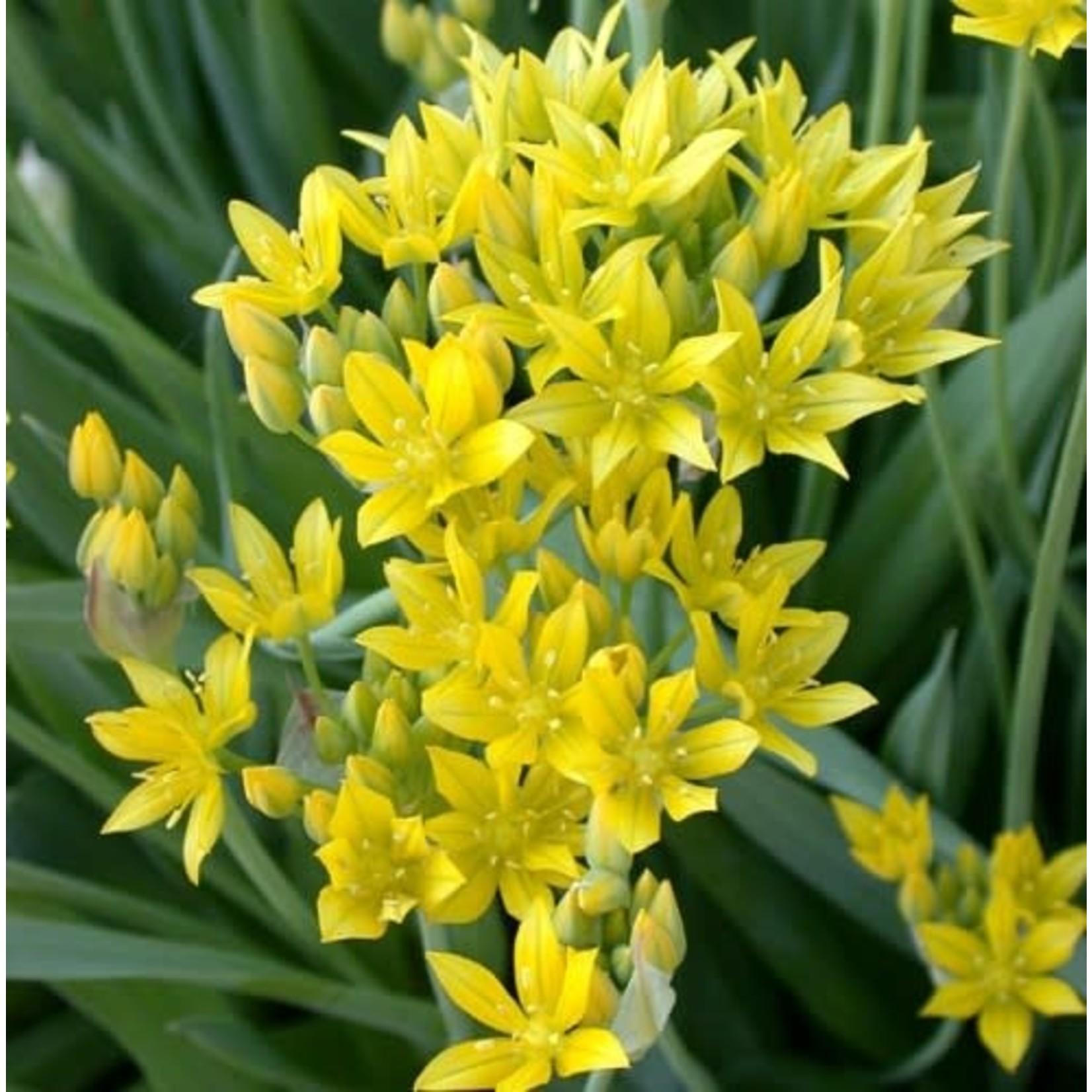Allium  Moly Luteum5+ (10 pack)