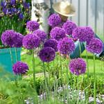 Allium  Purple Sensation 14+ (10 pack)