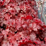 Coral Bells 'Heuchera Cajun Fire' - 1 gal