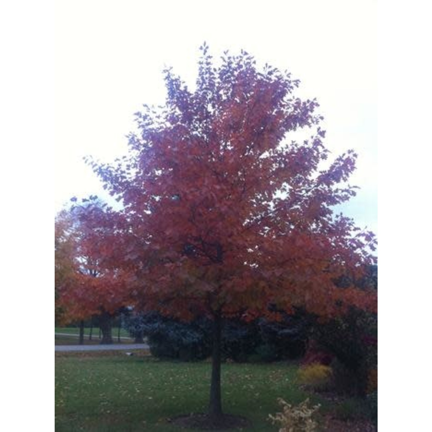 Red Oak - 7' Potted