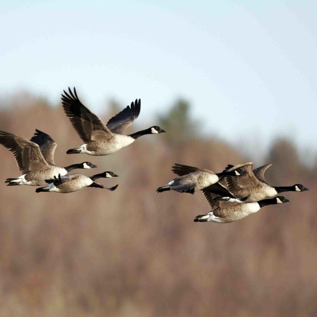Field Waterfowl 101