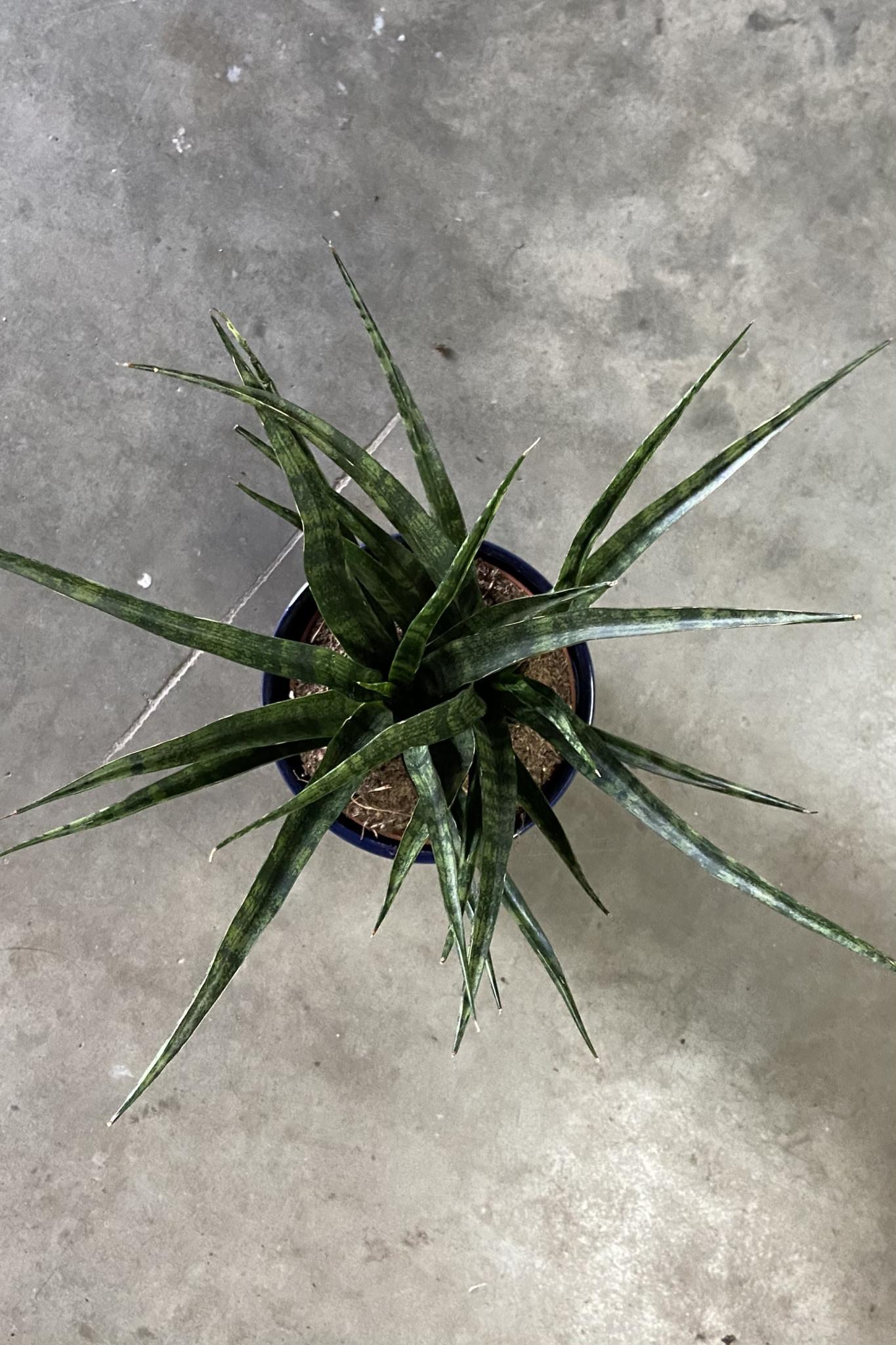 Sansevieria Fernwood Mikado-6