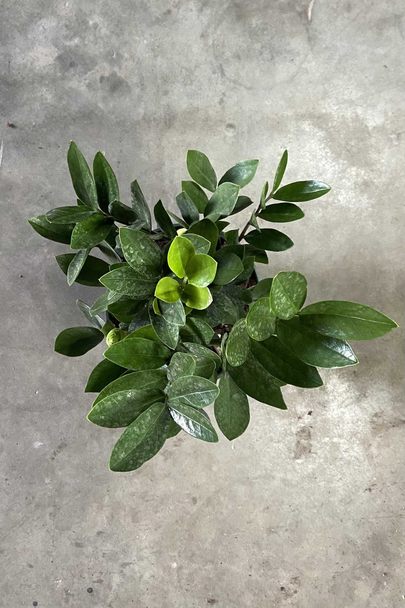 Zamioculcas zamiifolia-1