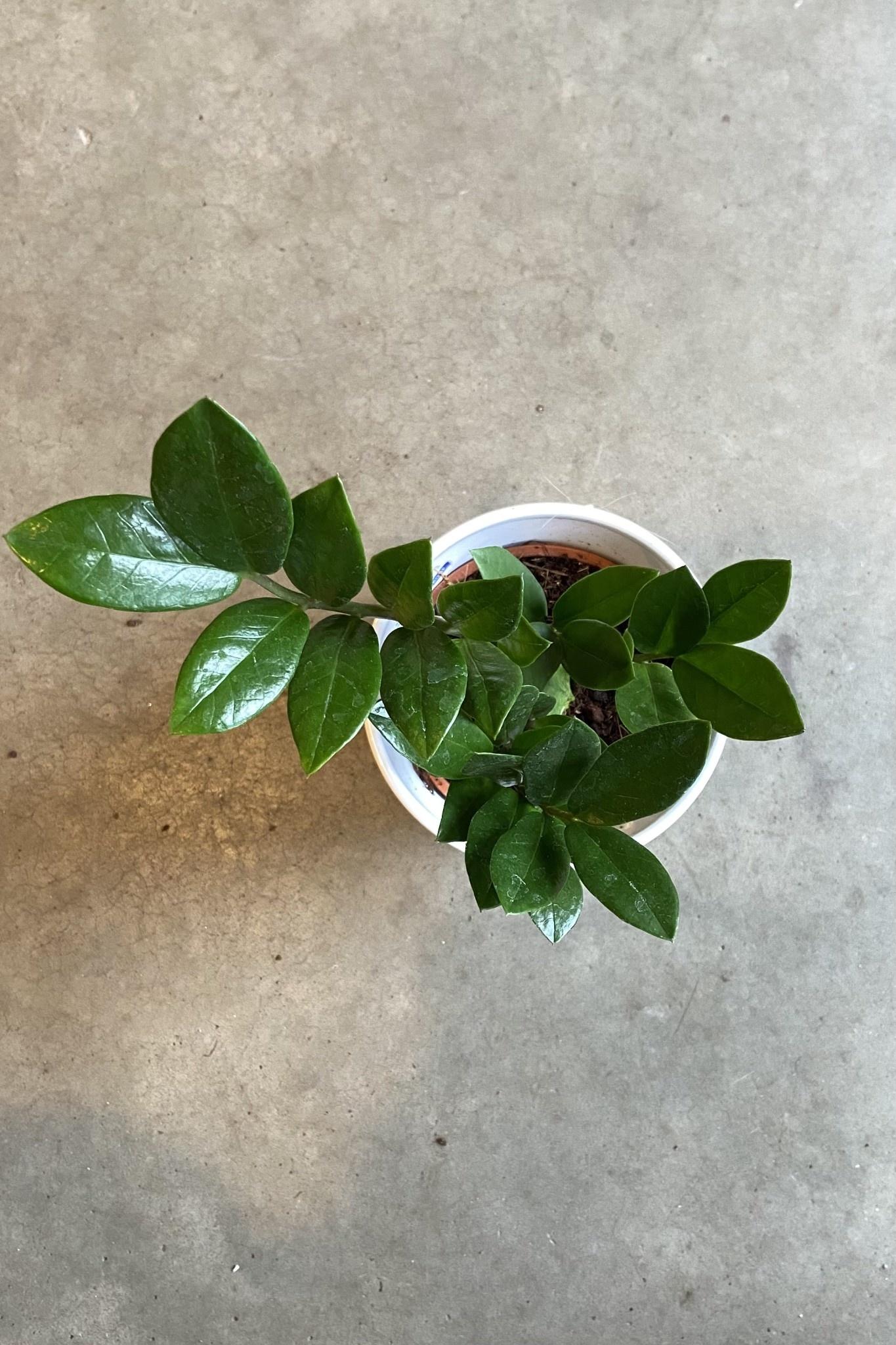 Zamioculcas zamiifolia-3