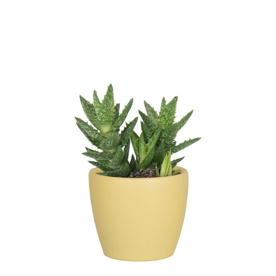 Nubia Cactus Jaune (Pot)-2